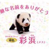 【6頭の大家族に!】アドベンチャーワールドのパンダの赤ちゃんの名前が「彩浜(さいひん)」に決定!