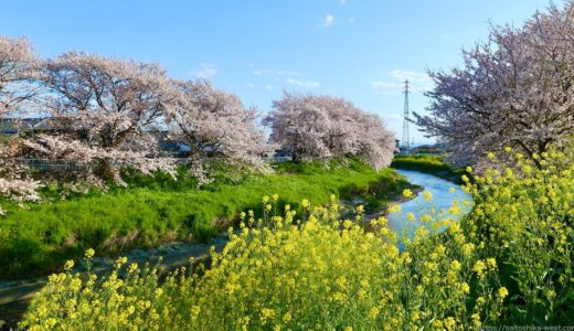 三密を避けて桜を愛でる